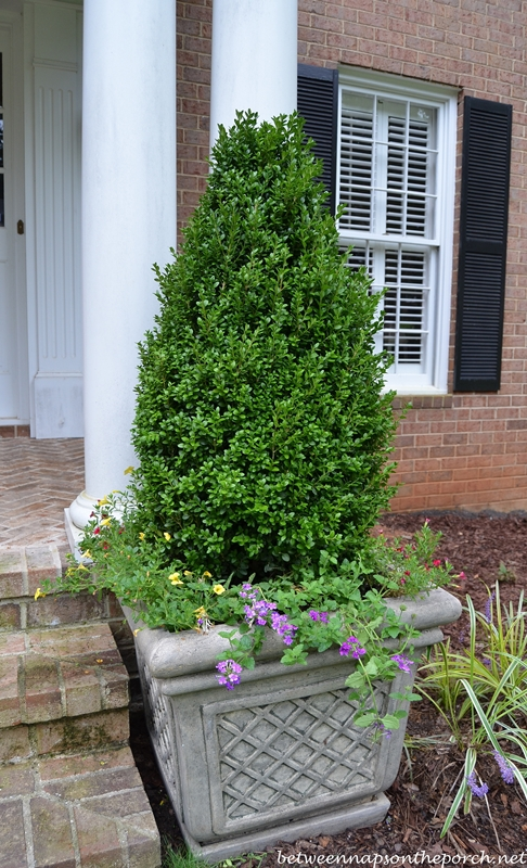 Container Gardens with Boxwood Topiary in a Pyramidal Shape