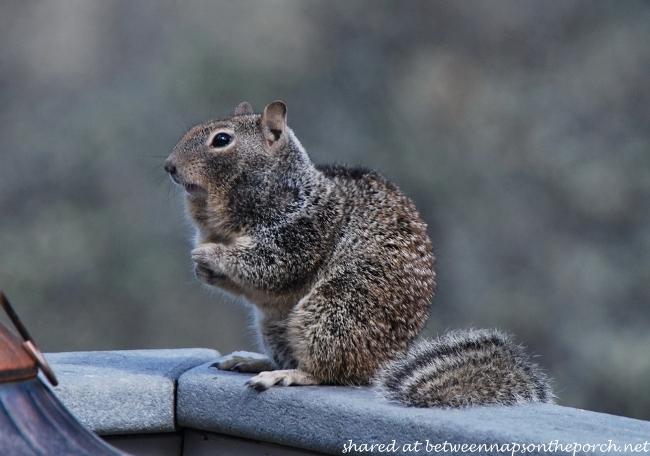 Ground Squirrels (2)