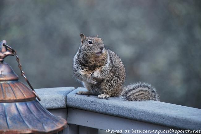 Ground Squirrels (3)
