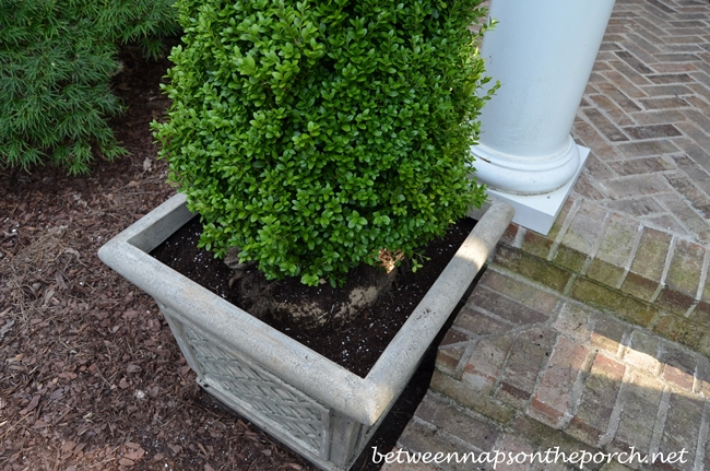Planting Boxwood Topiary in Planter