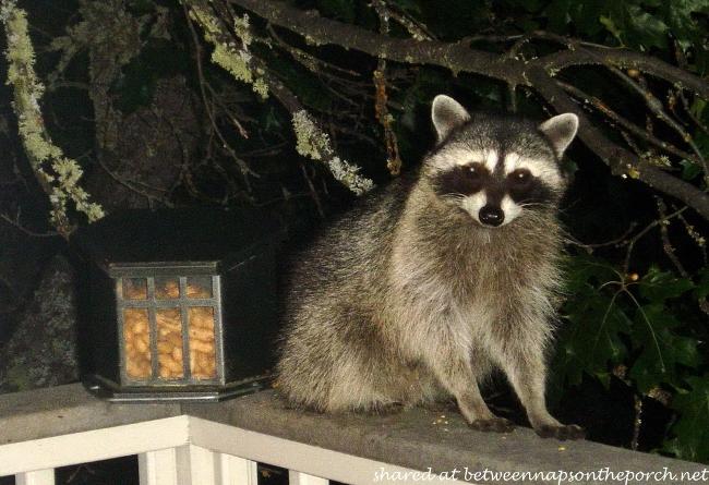 Raccoon raiding bird feeder