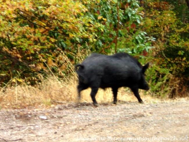 Razorback Pig