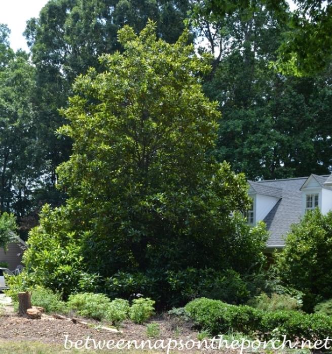 Southern-Magnolia-Grandiflora_wm