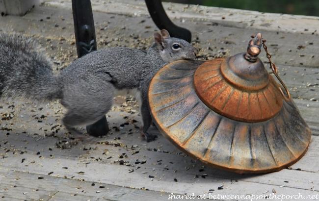 Squirrel Stealing Lid to Birdfeeder_wm