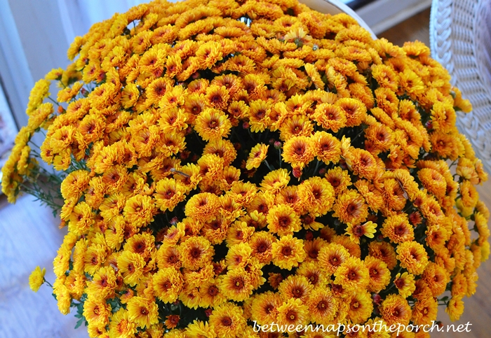 Chrysanthemums for Fall
