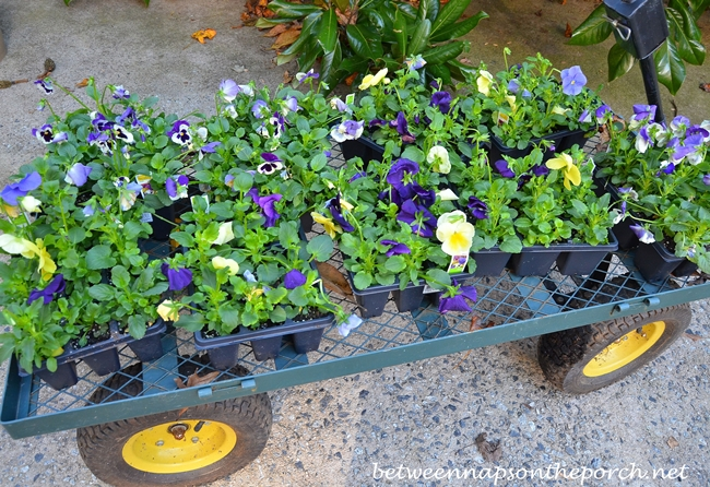 Pansies for the Garden