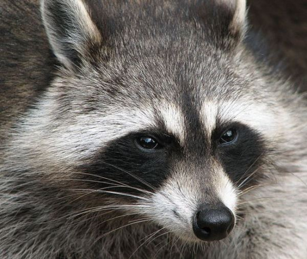 Raccoon-from-Wikipedia