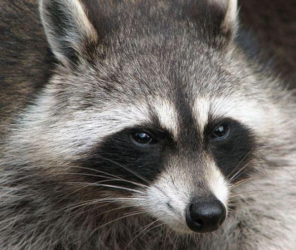 Raccoon-from-Wikipedia