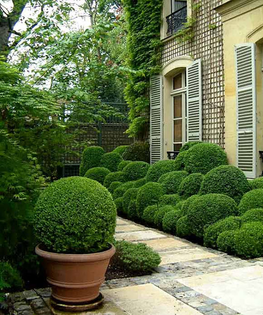 Boxwood in Large Clay Container
