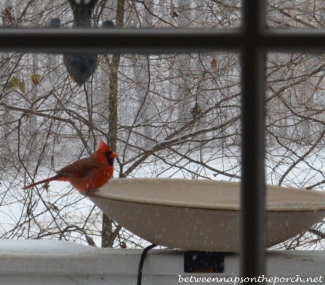 cardinal drinking from heated birdbath