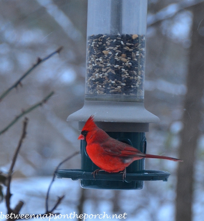 Beautiful Cardinal on Feeder during the snow