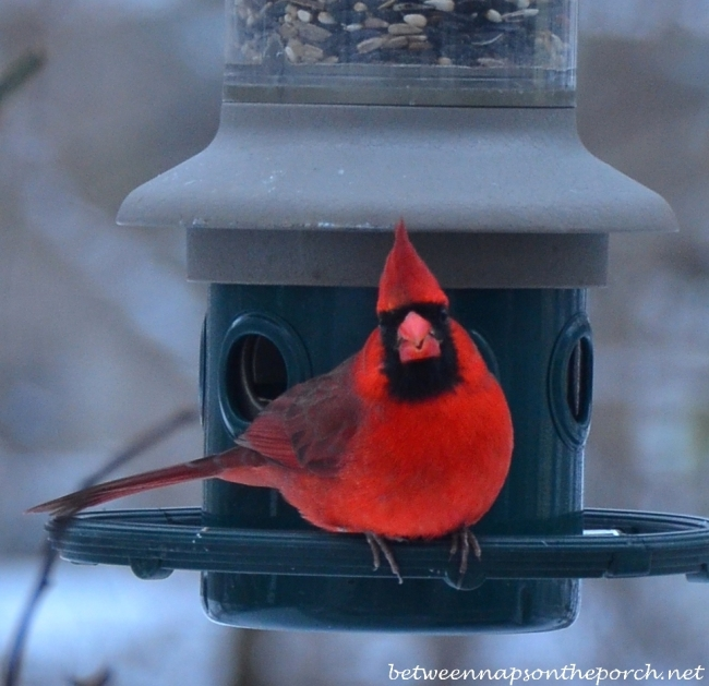 Beautiful Cardinal on Feeder in the Snow