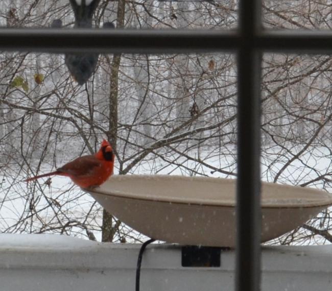 Cardinal on Heated Bird Bath
