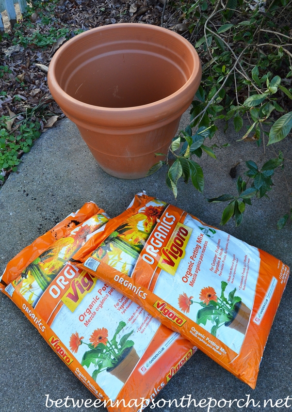 Plant Daffodils in Container for Spring Blooms
