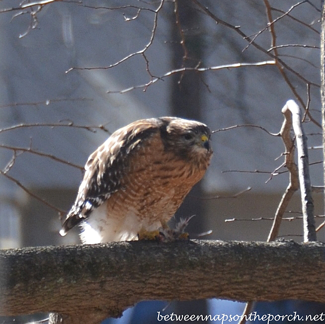 Red-Shouldered Hawk, Georgia Backyard, January 2014