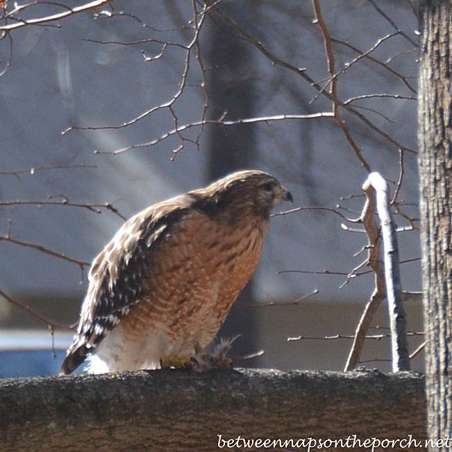 Red-Shouldered Hawk, Georgia Backyard, January 2014