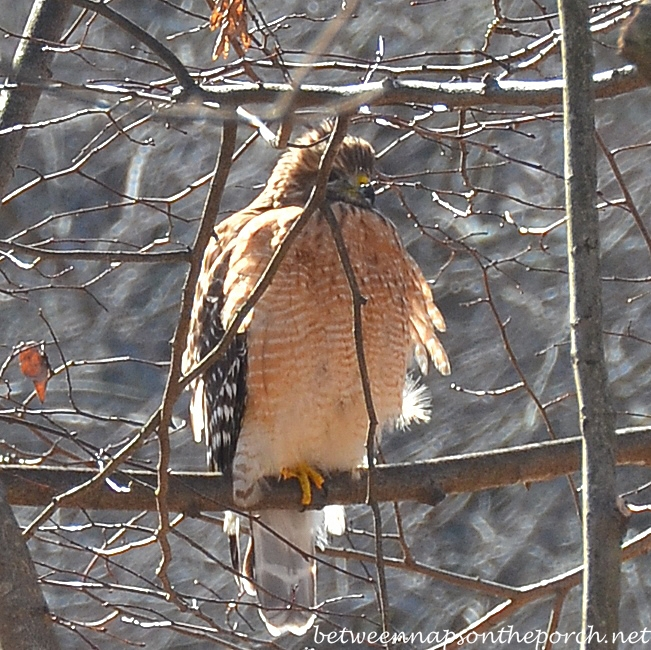 Red-Shouldered Hawk, January, Georgia