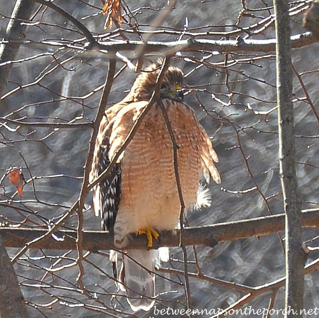 Red-Shouldered Hawk, January, Georgia