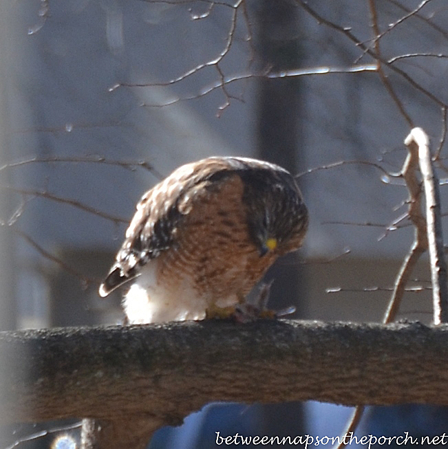 Red-Shouldered Hawk in Georgia Backyard Eating Something He Caught