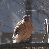 A Backyard Visitor: Red-Shouldered Hawk