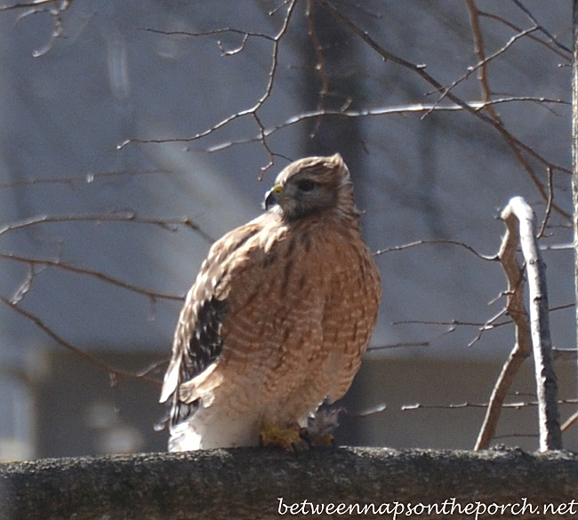 Red-Shouldered Hawk in Georgia Backyard