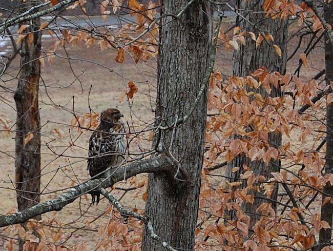 Red Tailed Hawk in Georiga Backyard
