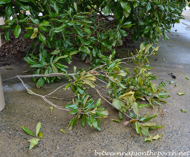 Magnolia Branch Broken During Storm Damage