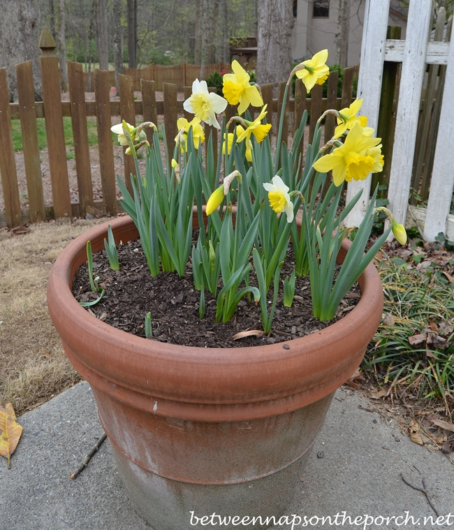 Container Gardening, Daffodils for Spring