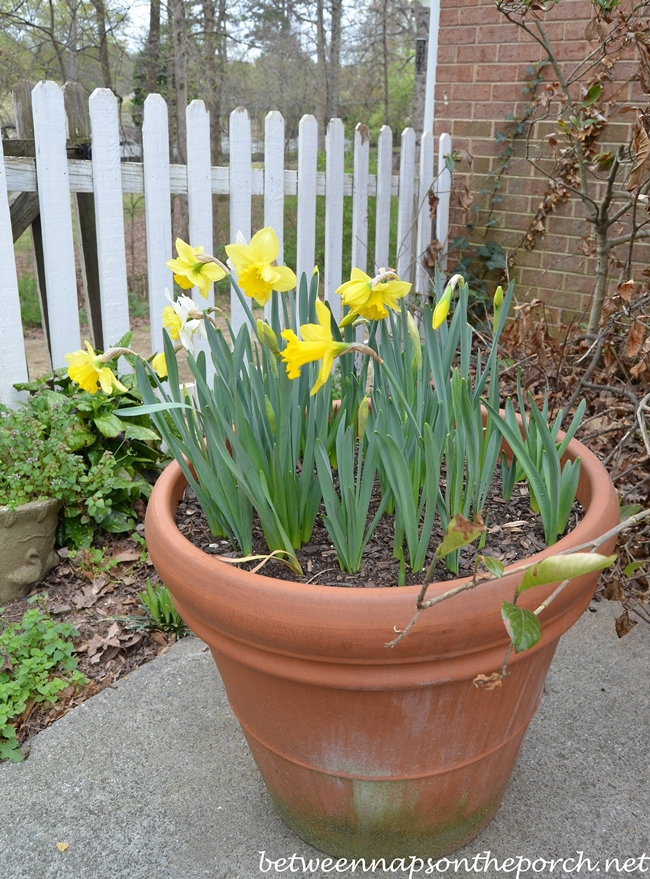Daffodils in Bloom, Container Gardening
