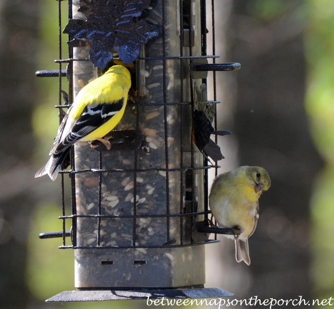 Goldfinches Feeding at Birdfeeder