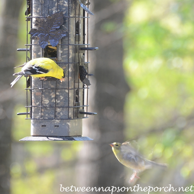 Goldfinches at Feeder_wm