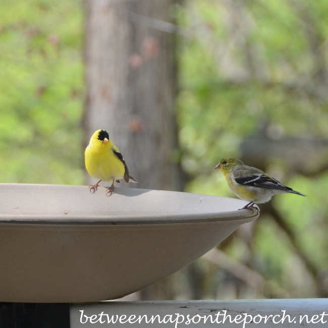 Goldfinches on Birdbath