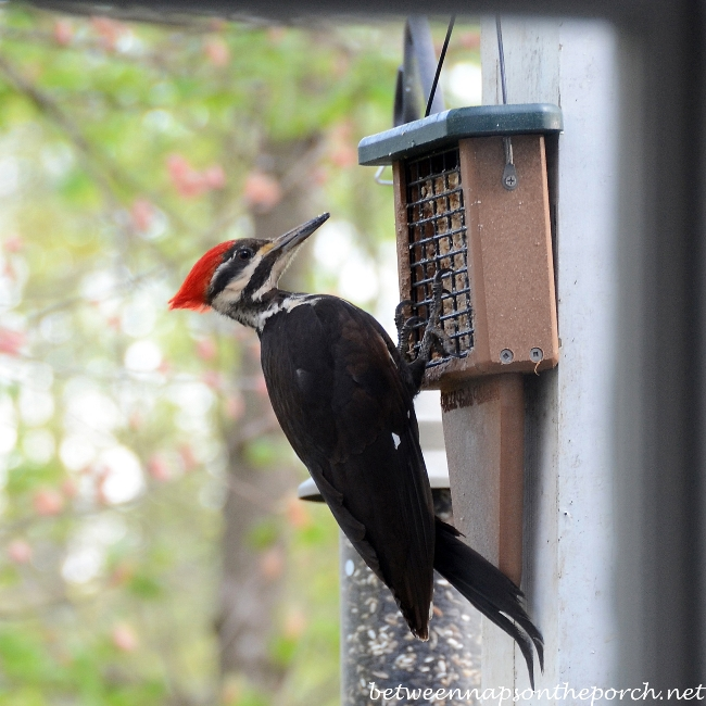 Pileated Woodpecker eating suet
