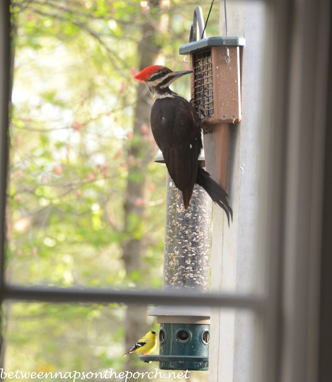 Pileated Woodpecker on Feeder