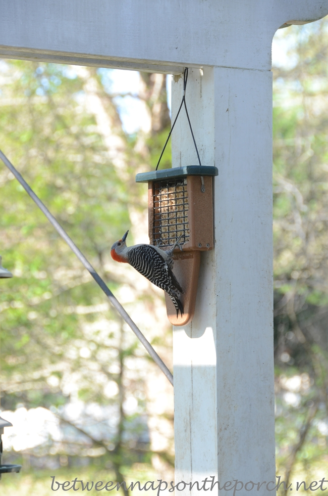 Red-Bellied Woodpecker on Feeder