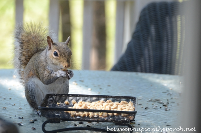 Squirrel Eating Suet Nuggets