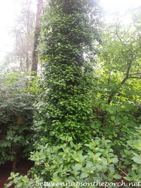 Climbing Hydrangea on Tree_wm