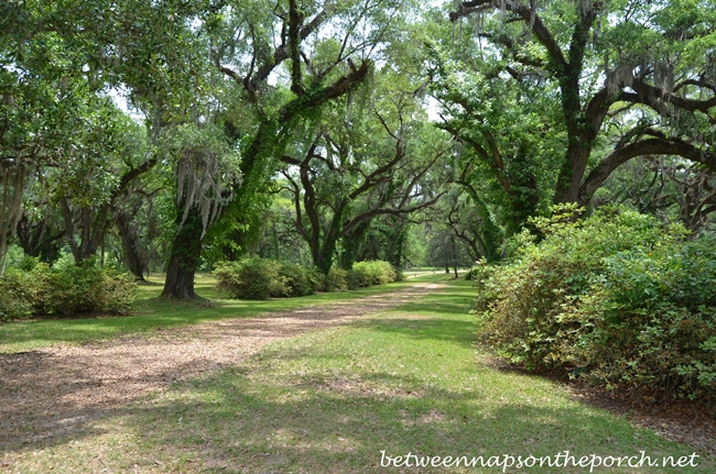 Greenwood Plantation Live Oaks in St. Francisville, Louisiana