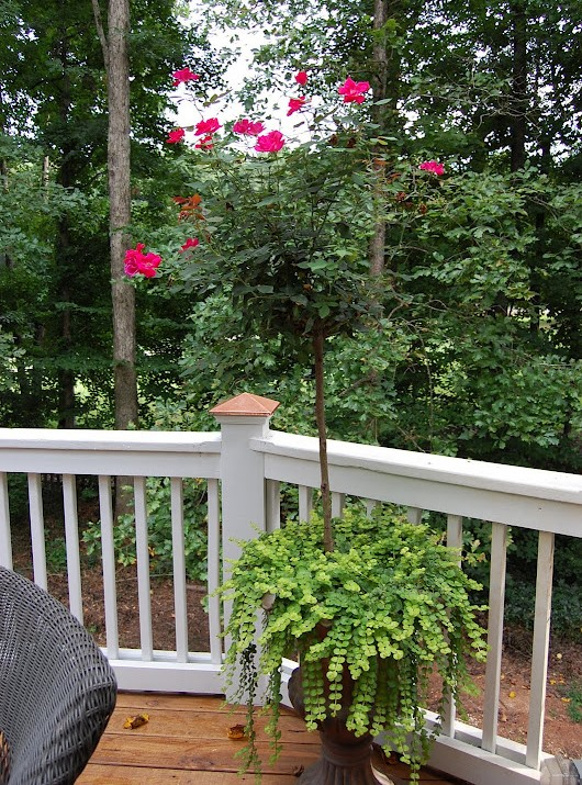 Knockout Rose Topiaries Surrounded by Creeping Jenny