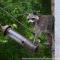 Raccoon Eating From Backyard Bird Feeder