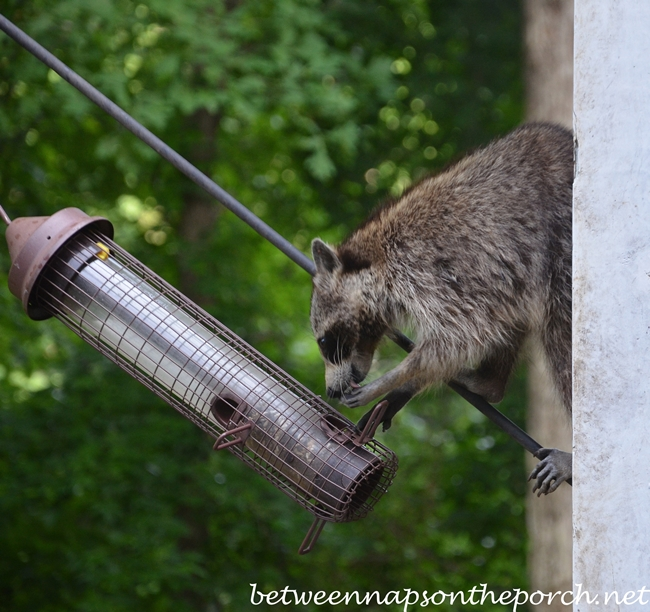 Raccoon Eating From Bird Feeder on Deck