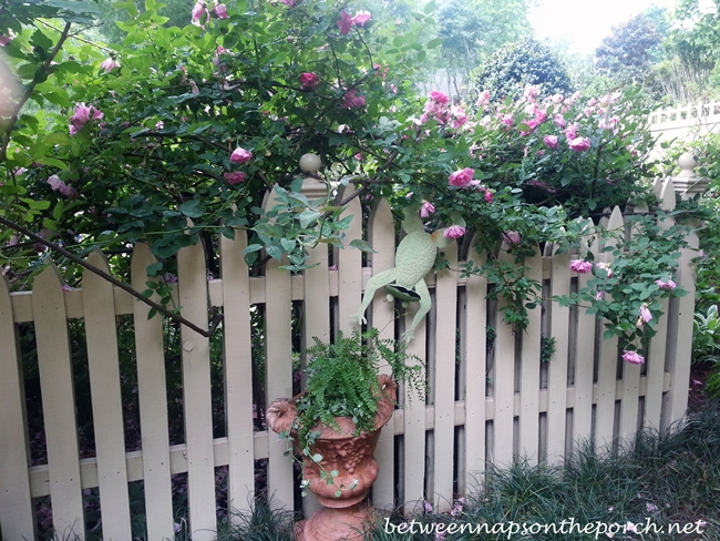 Roses Growing Along the Top of a White Picket Fence