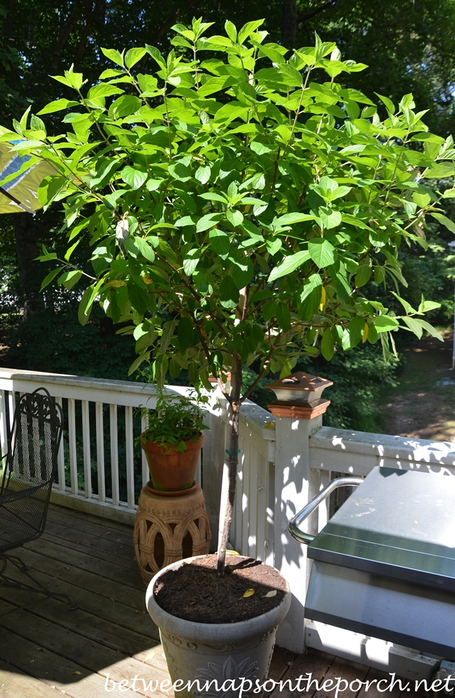 Tree Form Tardiva Hydrangea