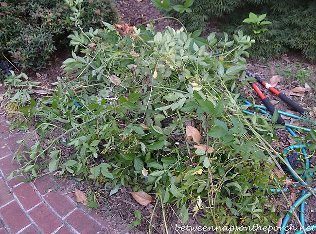 Blackberry Bush Cut Out