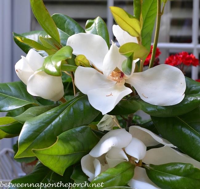 Magnolia Blossoms, Southern Magnolia Grandiflora