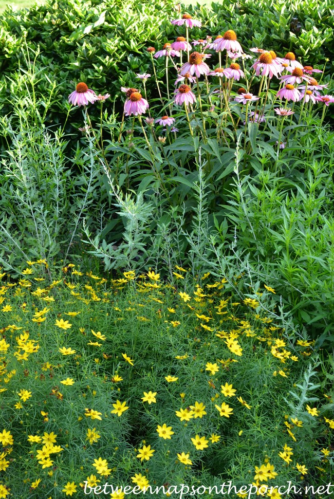 Purple Conflower and Coreopsis Moonbeam