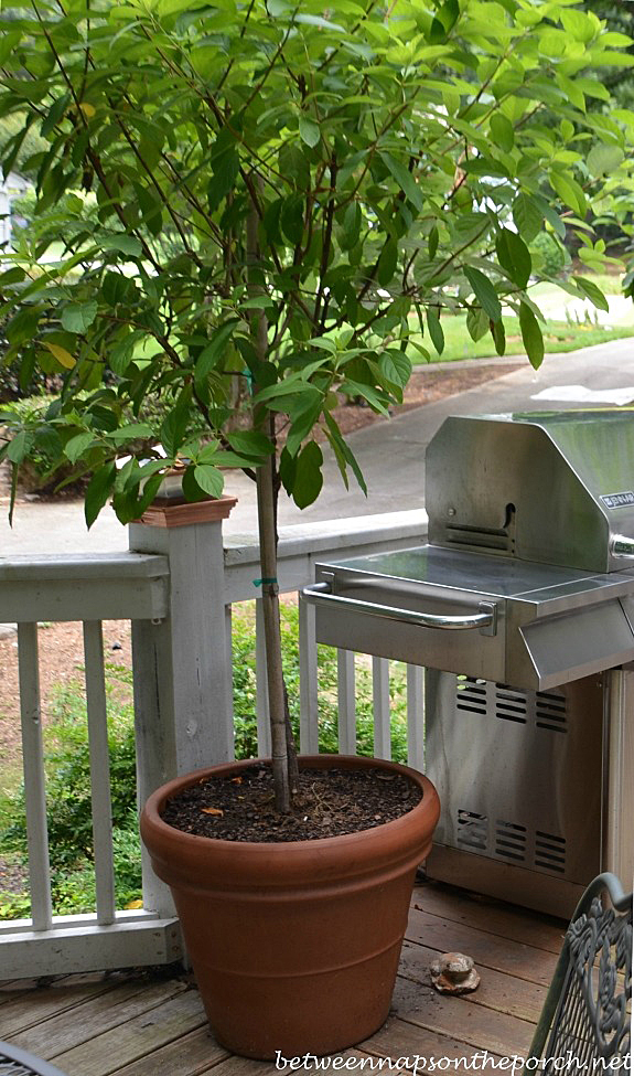 Repotted Tree Form Hydrangea 3_wm