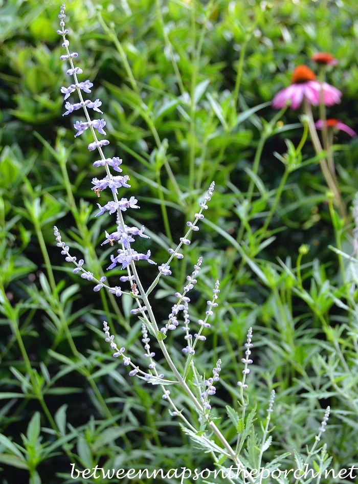 Russian Sage and Purple Coneflower 3_wm