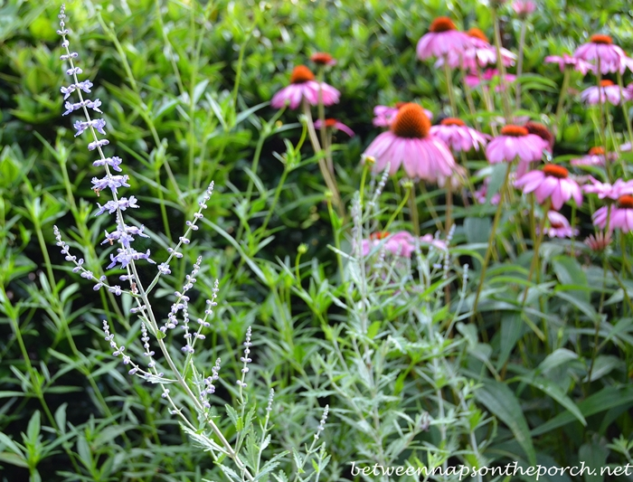 Russian Sage and Purple Coneflower