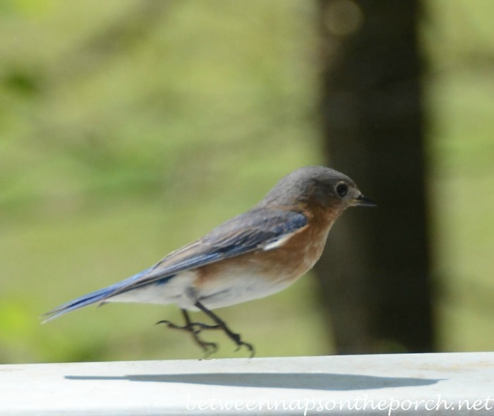 Bluebird Hopping Over To Mealworm Feeder
